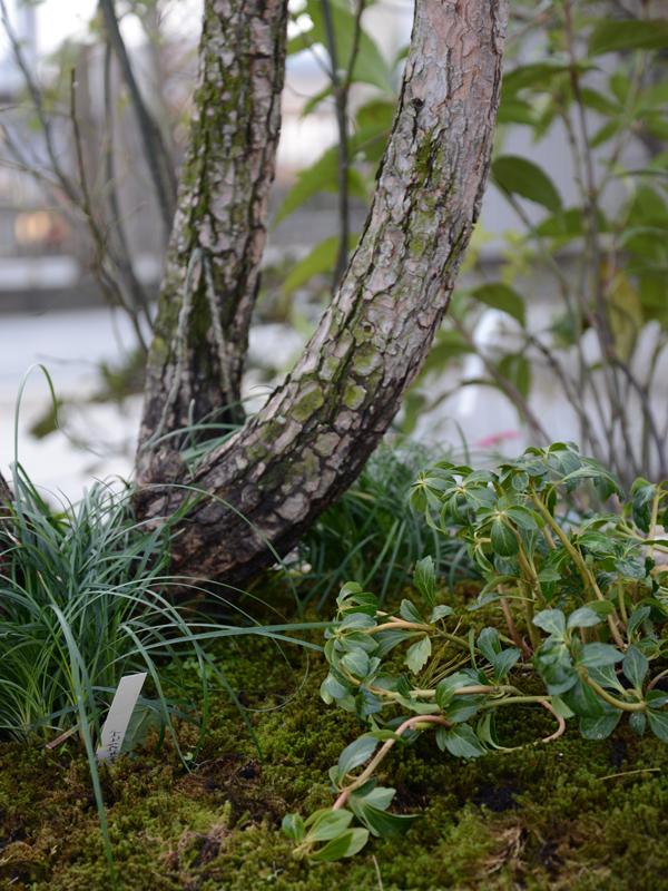 アカマツ 雑木