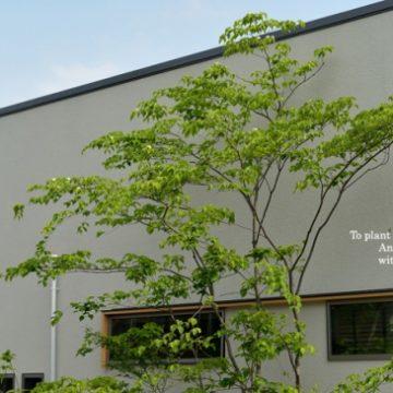 ヤマボウシ シンボルツリー