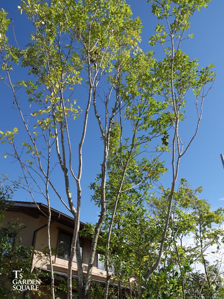 ナンジャモンジャの樹