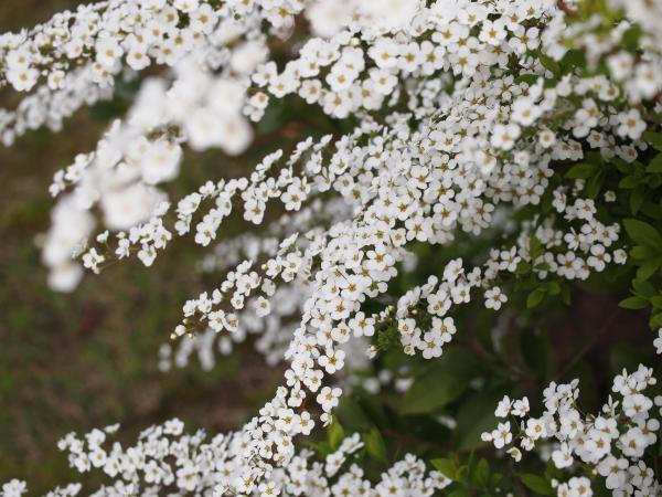 ユキヤナギ花