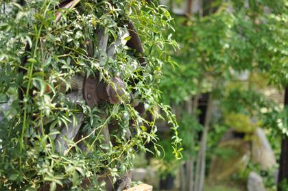 モッコウバラ咲く前