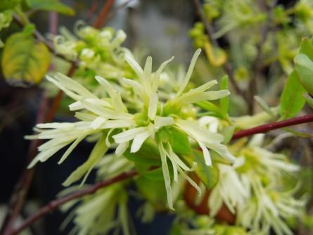 白花トキワマンサク