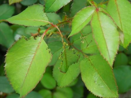 チュウレンジバチ幼虫