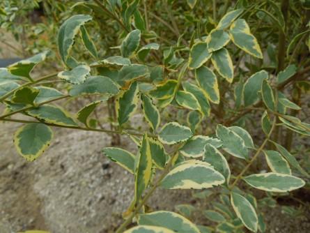 シルバープリペット葉