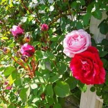 壁面つるバラ