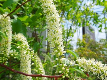 コバノズイナ花
