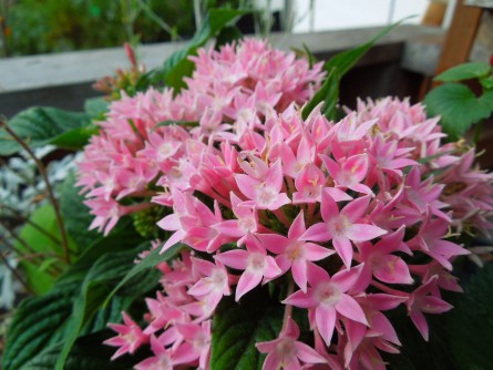 ペンタス花