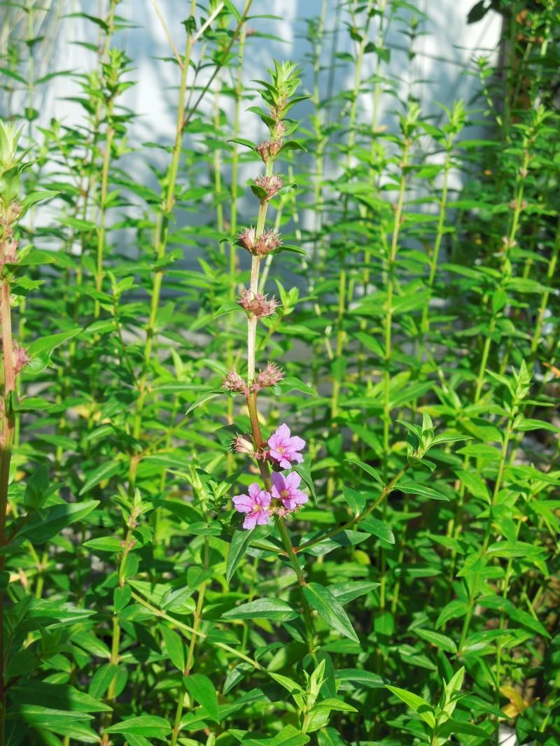 ミソハギ花