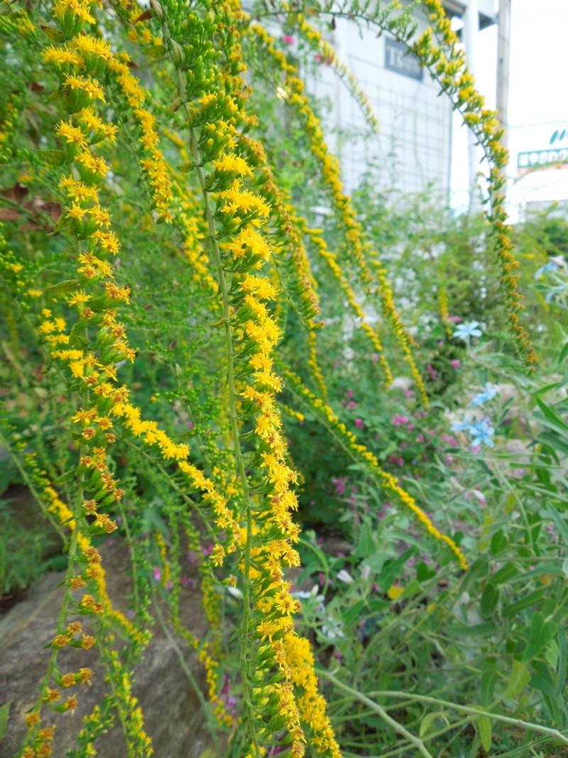ソリタゴ花穂