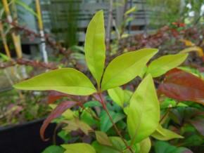 オタフクナンテン緑