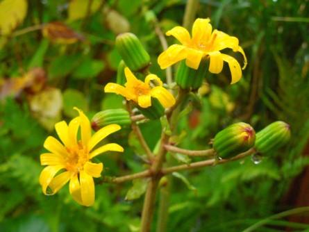 ツワブキ花蕾