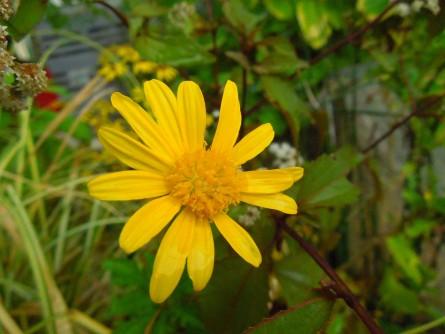 ユリオプスデージー花