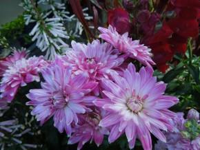スプレー咲き菊
