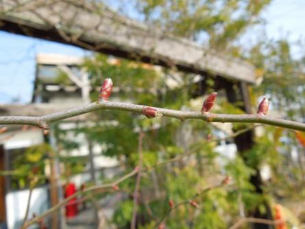 車輪モッコウバラの芽