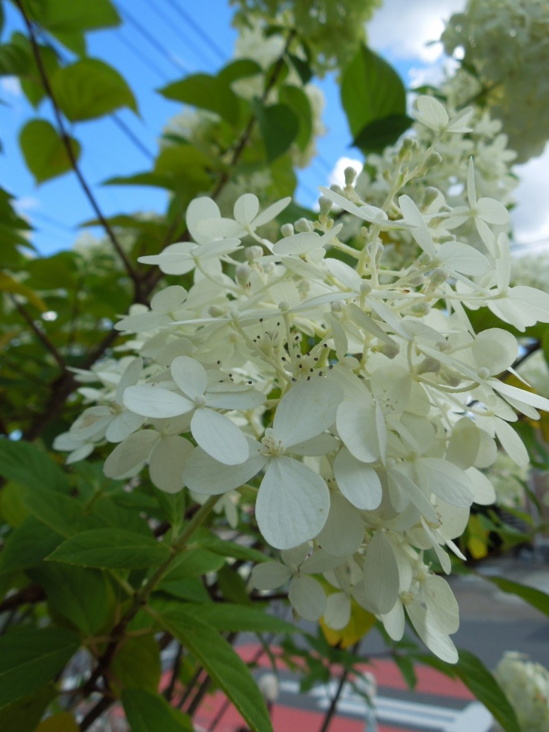 ノリウツギ・ライムライト装飾花
