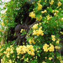 モッコウバラ