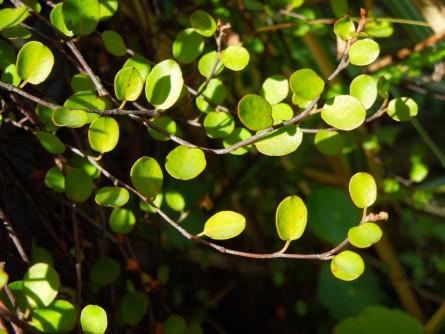 ワイヤープランツ緑葉