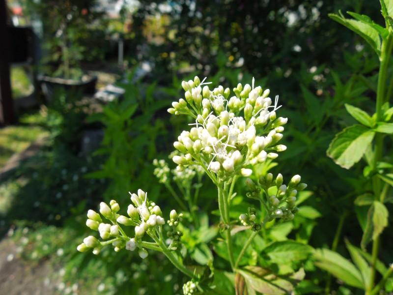 白花フジバカマ