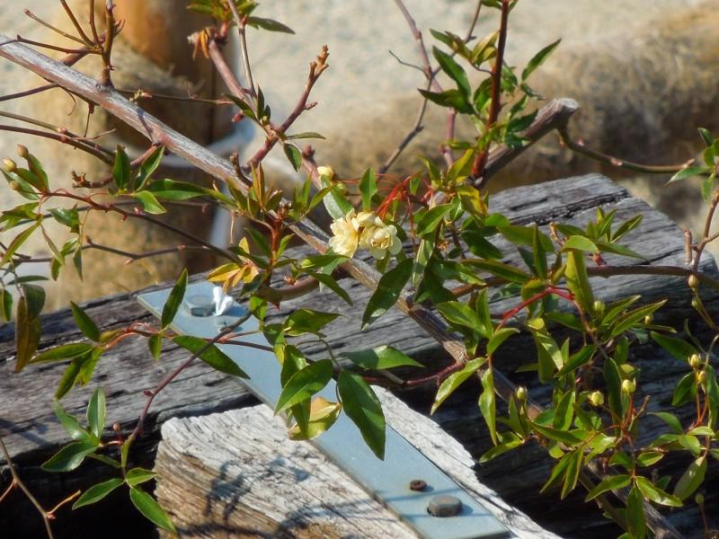 モッコウバラ花