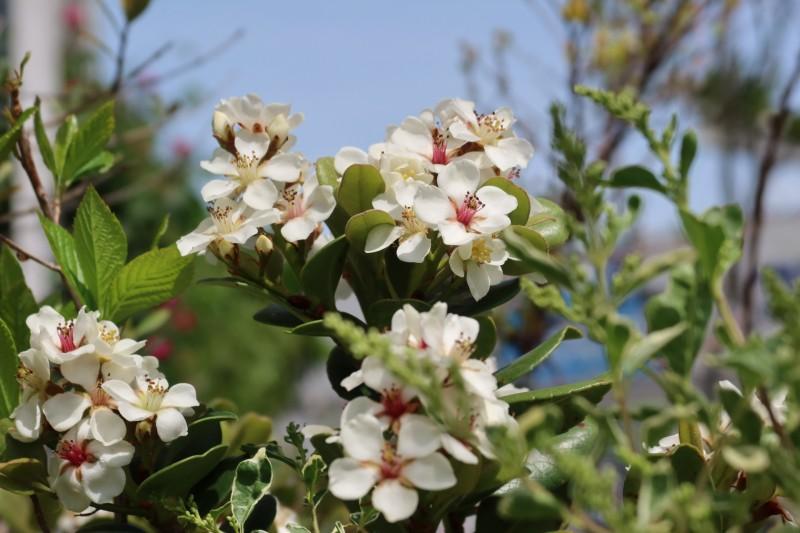 マルバシャリンバイの花