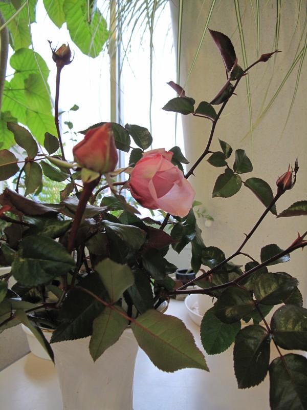 花瓶つるバラ