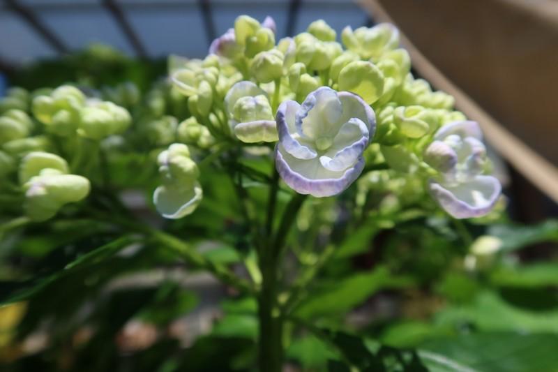 オタフクアジサイ花びら