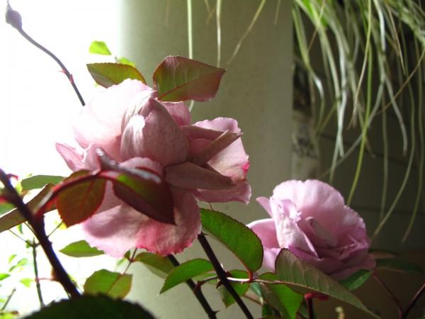 エモーションブルー切り花