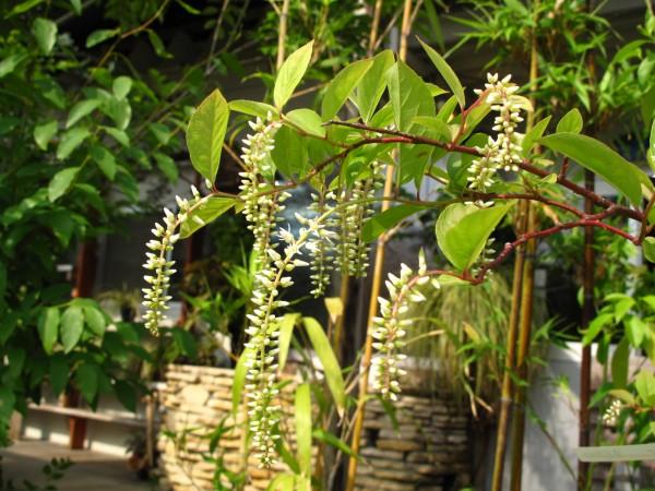 コバノズイナ花序