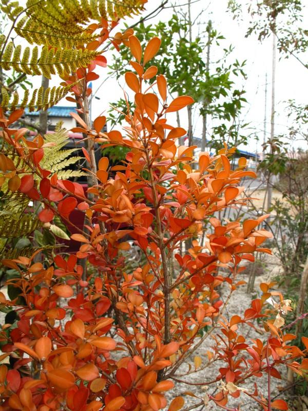 ボックスウッド紅葉
