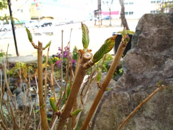 オタフクアジサイ芽