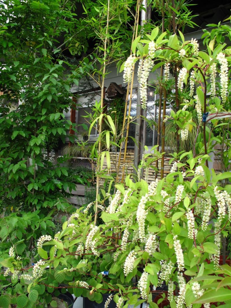コバノズイナ庭