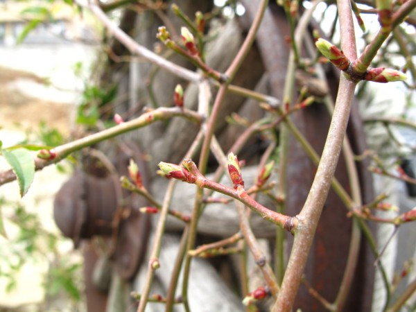モッコウバラ芽