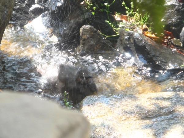 野鳥・水浴び