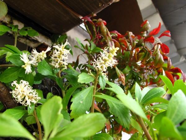 フッキソウ花