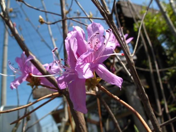 ミヤマツツジ花