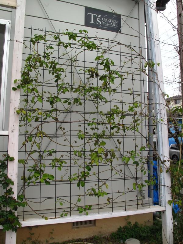 壁面緑化ムベ
