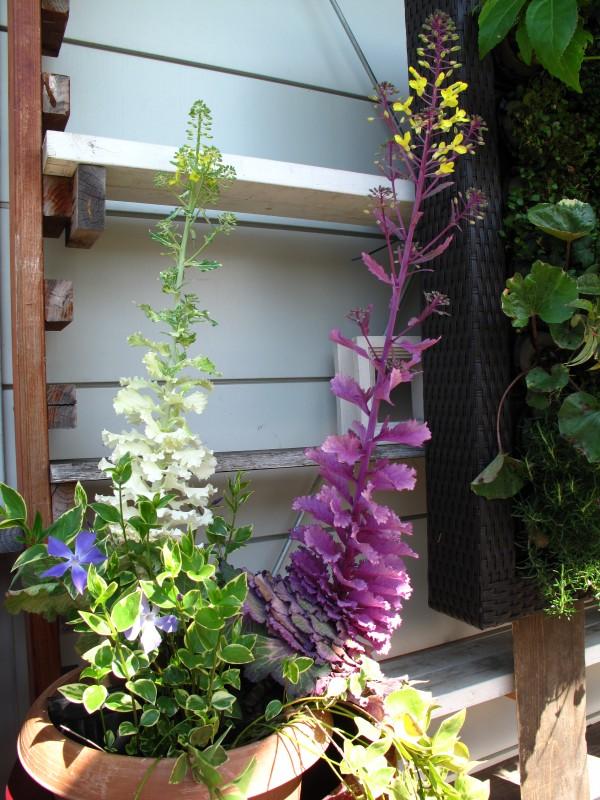 ハボタン花