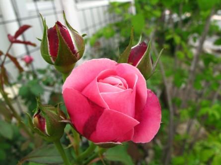 シャンテロゼミサト開花