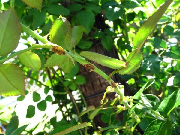 チュウレンジバチ被害