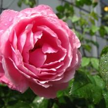 シャンテロゼミサト花