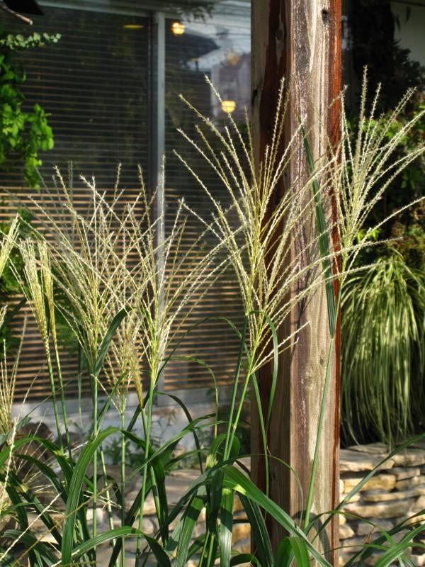 タカノハススキ・庭