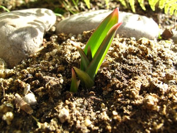 ギガンチウムの芽