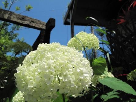 アナベル開花