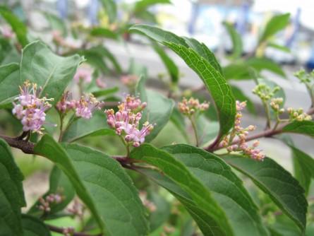 コムラサキ花