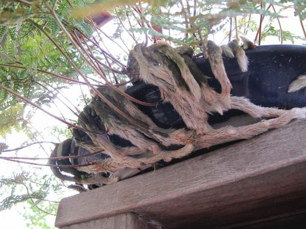 トキワシノブ根茎