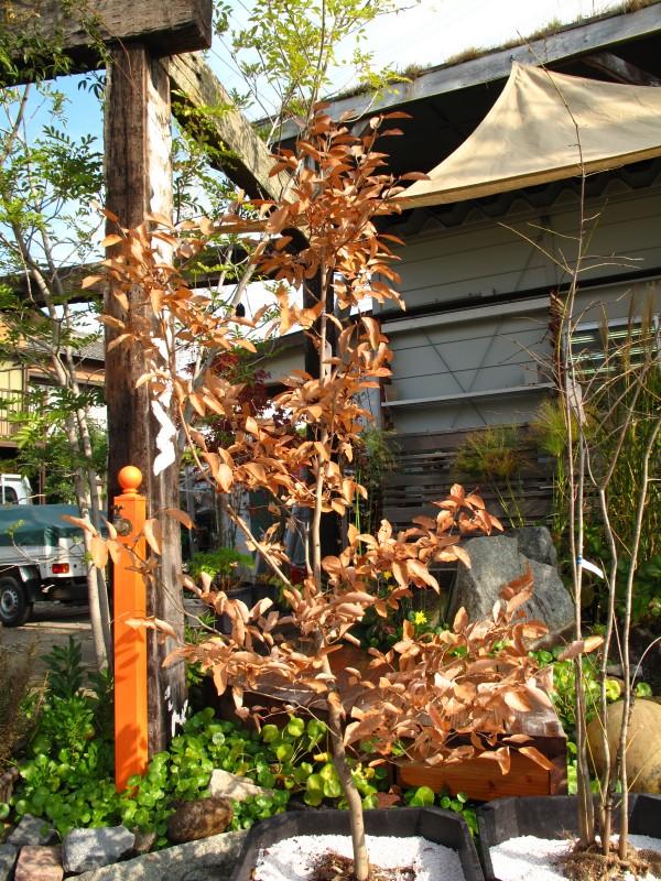 ヤマコウバシ鉢植え