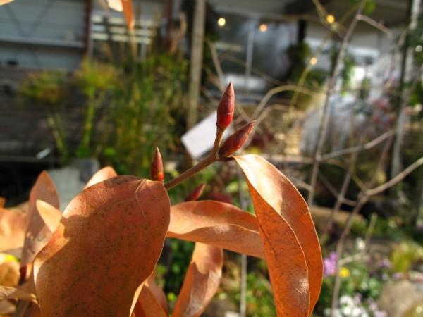 ヤマコウバシ冬芽