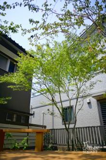 モミジシンボルツリー
