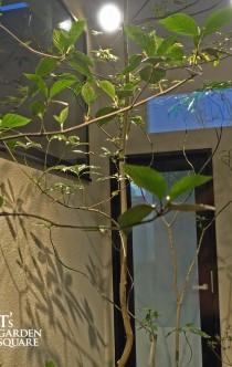 照り葉の植物