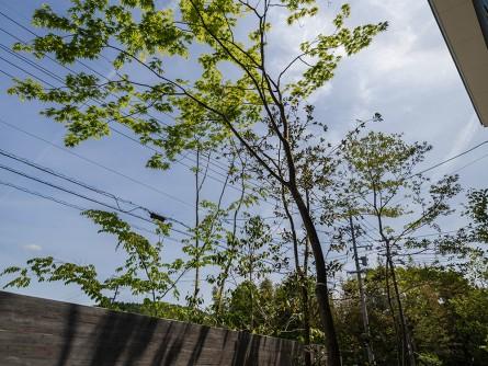 シンボルツリーイロハモミジ